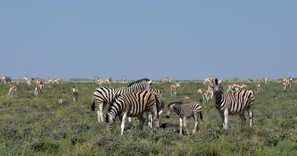Herde von verspielten Burchell-Zebra und andere wilde Tiere im afrikanischen Busch, Etosha Nationalpark, Namibia Afrika Wildlife Wildlife safari