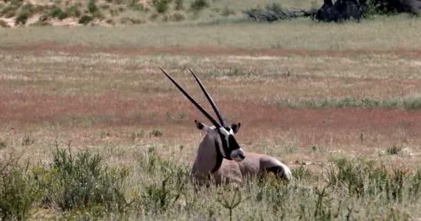 resting and lying Gemsbok, Oryx gazella in Kalahari, green desert with tall grass after rain season. Kgalagadi Transfrontier Park, South Africa wildlife safari