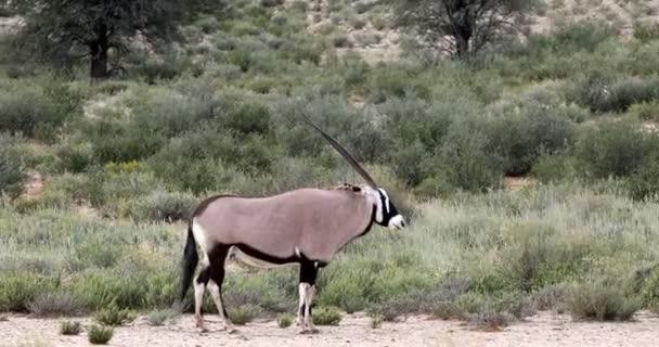 Gemsbock, Oryx Gazella in Kalahari, grüne Wüste mit hohe Gräser nach der Regenzeit. Wildtiersafaris Kgalagadi Transfrontier Park, Südafrika