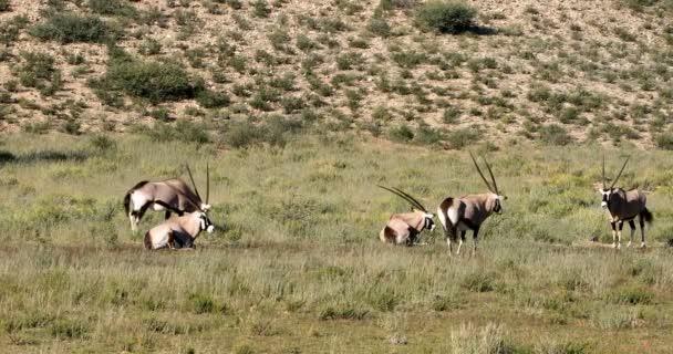 herd of Gemsbok, Oryx gazella in Kalahari, green desert with tall grass after rain season. Kgalagadi Transfrontier Park, South Africa wildlife safari
