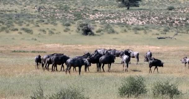 herd of wild Blue Wildebeest Gnu in Kalahari, green desert after rain season. Kgalagadi Transfrontier Park, South Africa wildlife safari