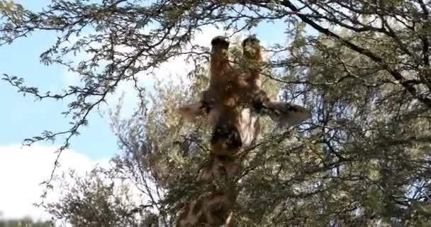 roztomilé žirafy pasoucí se v poušti Kalahari zelené po dešti sezóny. Wildlife safari Kgalagadi přeshraniční Park, Jihoafrická republika