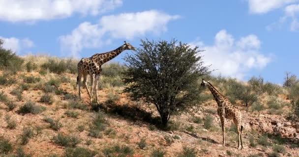 aranyos zsiráf, legelő, zöld Kalahári sivatagban eső szezon után. Kgalagadi átnyúló Park, Dél-afrikai vadon élő állatok safari