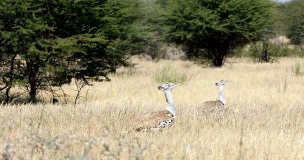 two big bird Kori Bustard in african bush, Kalahari South Africa, Africa wildlife