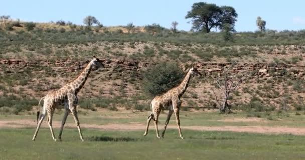 cute Giraffes grazing in Kalahari green desert after rain season. Kgalagadi Transfrontier Park, South Africa wildlife safari