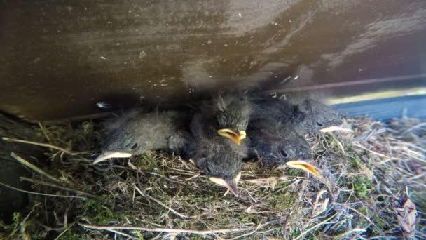 fészekben, nyitott szájjal, és sceam megbúvó kis madarak. Házi rozsdafarkú (Phoenicurus ochruros) kis madár él a házban