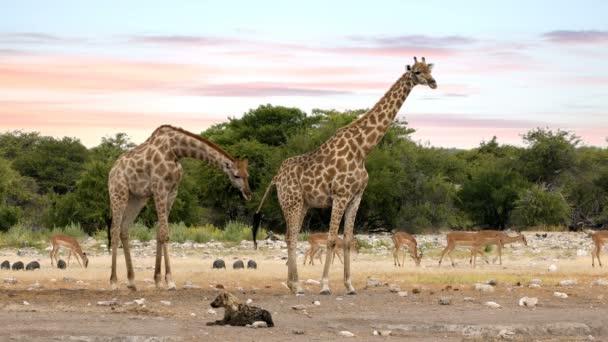 Žirafa na Etosha s vypuzením hyena, Namibia safari wildlife