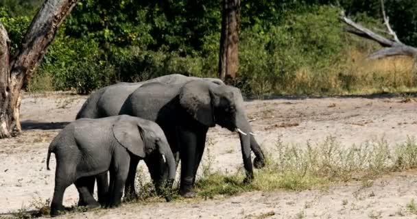 Afrikai elefánt, Bwabwata Namíbia, Afrika safari wildlife