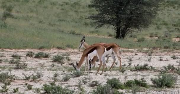 Springbok grazing in Kalahari, South Africa