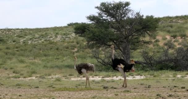 Ostrich in green Kalahari, Africa wildlife safari