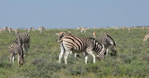 Zebra im afrikanischen Busch, afrikanische Tierwelt