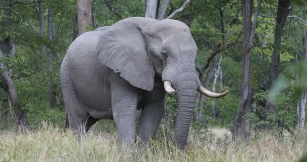 Afrikanischer Elefant in Moremi, Botswana Safari Wildtiere