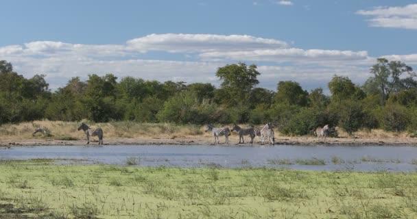 Zebra in bush, Botswana Africa wildlife