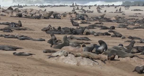 hatalmas kolónia a Cape Cross, Namíbia safari wildlife Dél-afrikai medvefóka