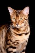schöne Katze auf schwarzem Hintergrund schaut aufmerksam