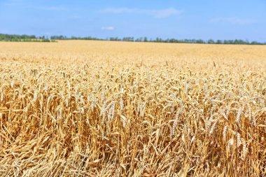 Grain field in the rural landscape.