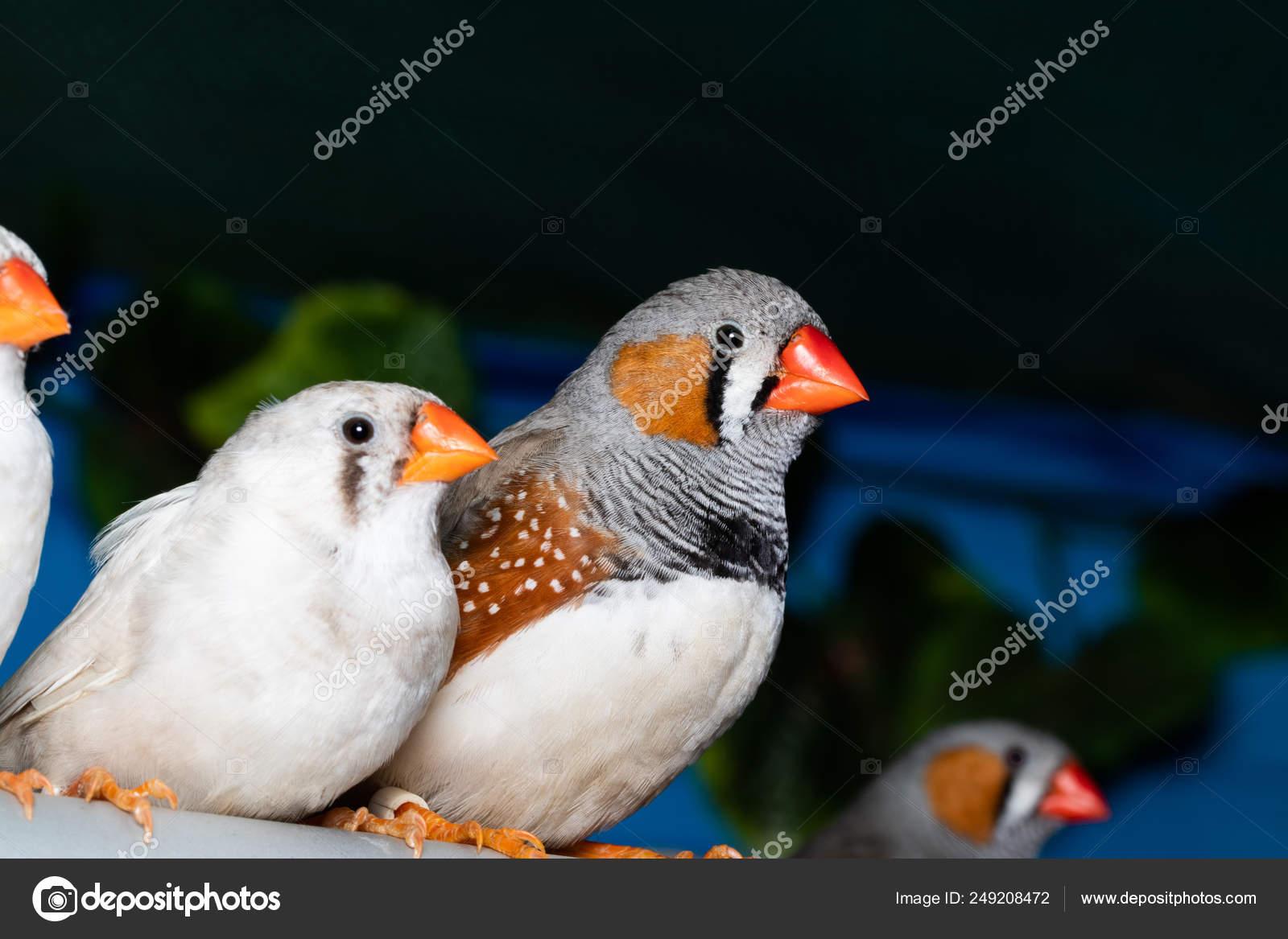 Beautiful Bird Zebra Finch Taeniopygia Guttata Perching On A Stock Photo C Alex Skp 249208472
