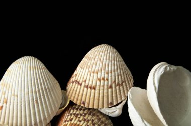 Collection of large clam type sea shells on black background with copy space, from above.