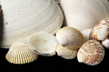 Collection of small clam type sea shells on black background, with large ones behind.