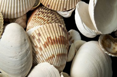 Detailed close up of large clam type sea shells on black background, from above.