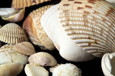 Collection of ribbed clam type sea shells on black background.