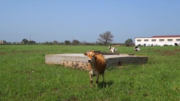 tehenek legeltetése szántóföldön.