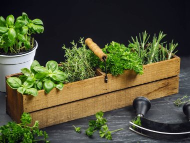 Photo of basil, rosemary, thyme, and parsley in an old wooden box on a table. stock vector