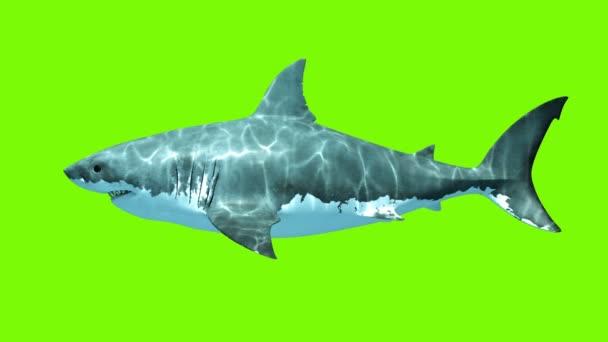 Großer weißer Hai-Megalodon auf grünem Hintergrund. zwei nahtlose 3D-Animationen. 4k