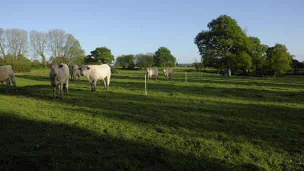 Zeitraffer - eine kleine Herde weiden weißer Rinder auf einem Feld - Kühe, Stiere und Kälber, am späten Nachmittag mit der untergehenden Sonne, der Himmel ist wolkenlos.