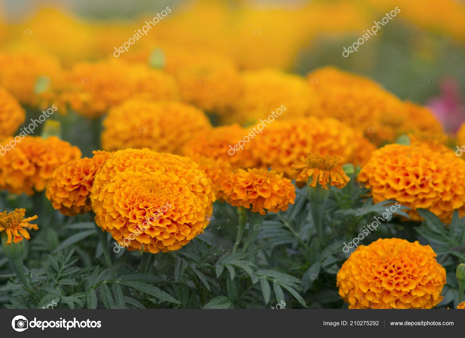Lots Beautiful Flowers Garden Often Called Mexican Aztec African