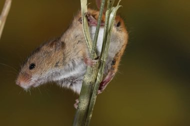 harvest mouse captured in natural habitat