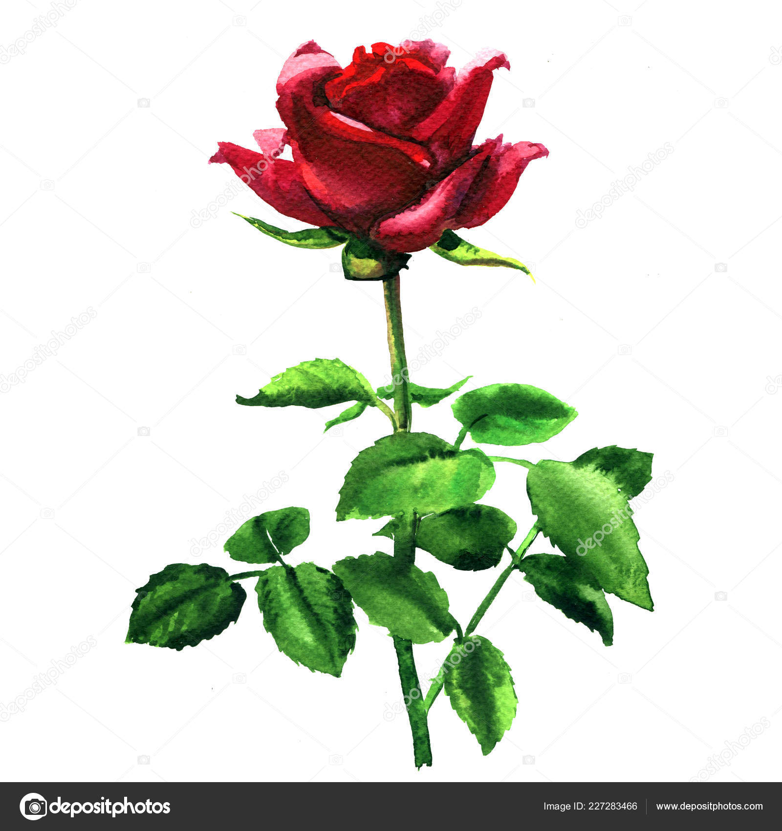 Beautiful romantic tender red, pink rose, single flower with