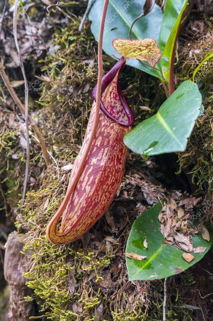 tropical pitcher plant at natural habitat,