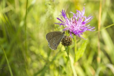 A butterfly sits on a thistle flower