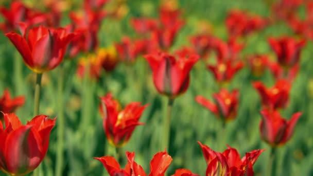 Červené tulipány s bokeh