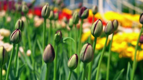 Unblown poupata krásné tulipány