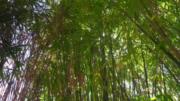 Foresta verde bamboo in Cina.