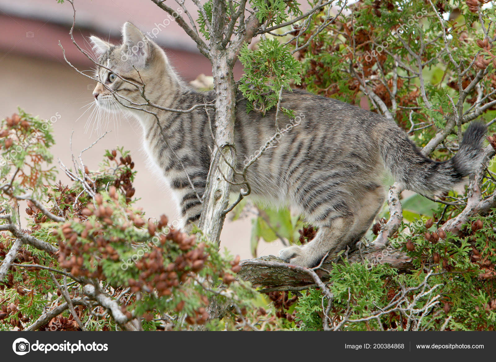 small gray striped european shorthair cat plays garden climbs trees