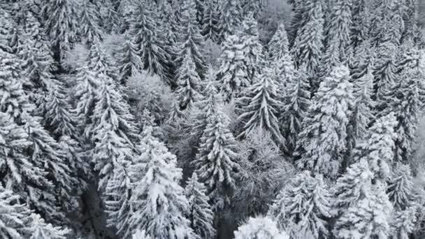 Letecký pohled na les v zimě zamračený den. Krásná zimní příroda smrk a borovice na sněhu. Létání nad zasněžené stromy