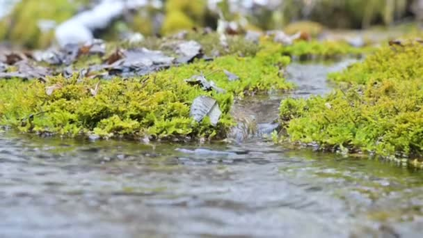 Close-up slow motion cascade stream surrounded by green and petrified moss. High mineral content in mountain water