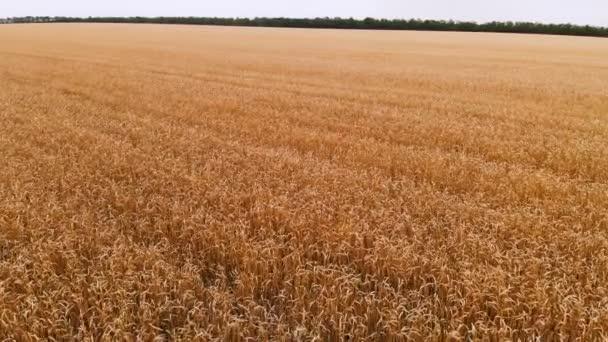 Légifelvétel egy érett búza mezőből. Panoráma mozgalom mint a búza. Mezőgazdasági kenyérgyártás 4k felbontásban