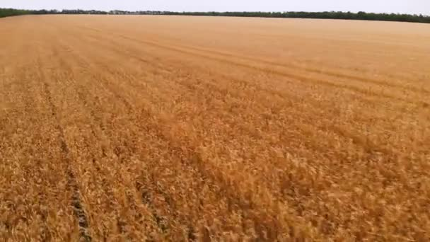 Aerial view from a ripe wheat field. Panoramic movement over wheat. Agricultural production of bread in 4k resolution