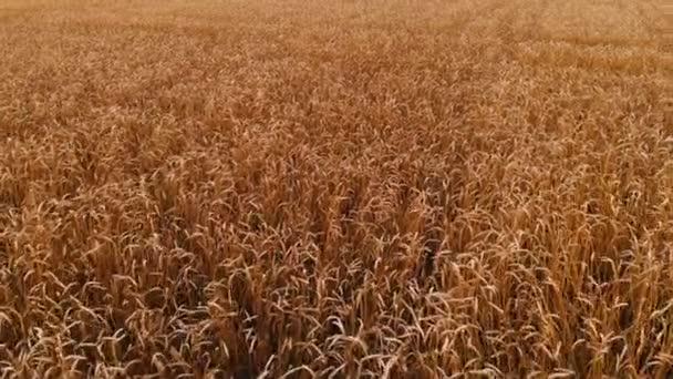 Letecký pohled z zralých pšeničných polí. Panoramatický pohyb nad pšenicí. Zemědělská produkce chleba v rozlišení 4k