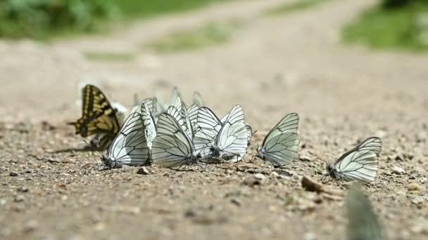 Zblízka zpomalený pohyb Skupina motýlů s kyanovými křídly, kteří absorbují živiny a plazí se po zemi v hornatých oblastech. Skupina barevných motýlů v přírodě.