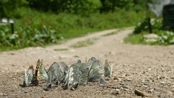Blízka skupina motýlů s azurovou křídly absorbuje živiny a plazí se na zemi na pozadí lesa a hor. Skupina barevných motýlů v přírodě