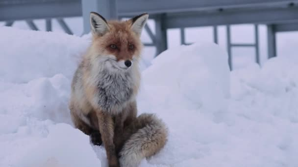 The red fox sits on the snow and licks against the background of metal structures. A large portrait of a Caucasian fox high in the caucasian mountains