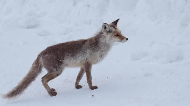 Red wild fox runs through the snow-covered neighborhood of a mountain shelter or an Arctic station in the evening. The concept of meetings of wild animals and humans