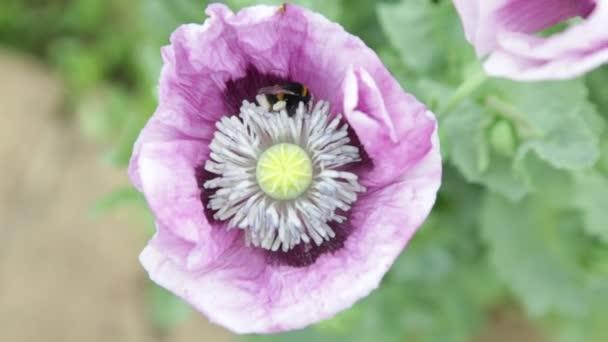 Čmelák, opylující papaverum opium mápy za slunečného dne v venkovské zahradě
