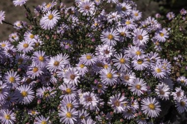 Alpine Aster (Aster alpinus) . Decorative garden plant with purple flowers. Beautiful perennial plant for rock garden. Field of pink flowers of rose Alpine Rock Aster. Autumn flowers