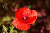 Fényképek A virágok piros Pipacsok nyílnak, a vad mező. Gyönyörű vörös mezőben Pipacsok a szelektív összpontosít. Piros Pipacsok a lágy fény. Ópium-mák. Glade mák kapszula. Mák virág és zöld gubók területén
